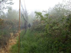 Net checking in mist.  Photographed by Mark Grantham
