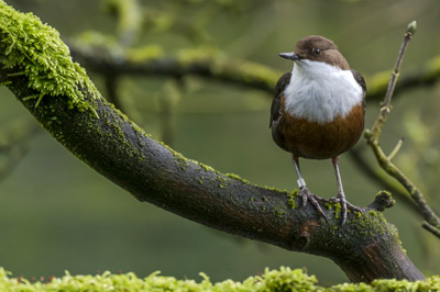 Dipper. Photograph by Ruth Walker
