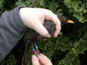 Colour-ringed Blackbird. Photograph by Jeff Kew