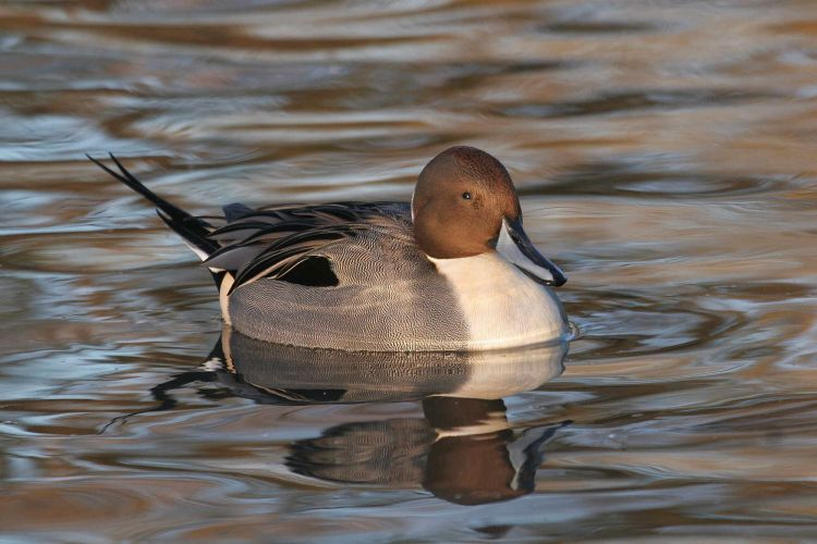 Pintail. Photograph by Jill Pakenham