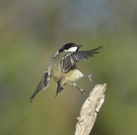 Coal Tit by Paul Sterry
