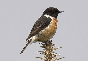 Stonechat male. Photograph by Al Downie