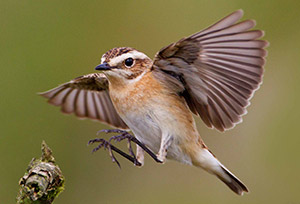 Whinchat female. Photograph by Edmund Fellowes