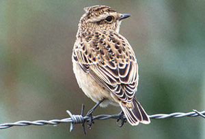 Whinchat Juvenile. Photograph by Mike Weston