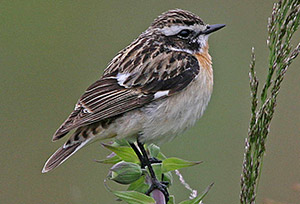 Whinchat male. Photograph by Ron Marshall