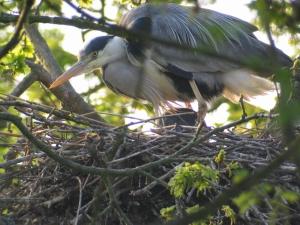 Grey Heron. Photograph by Simon Gillings