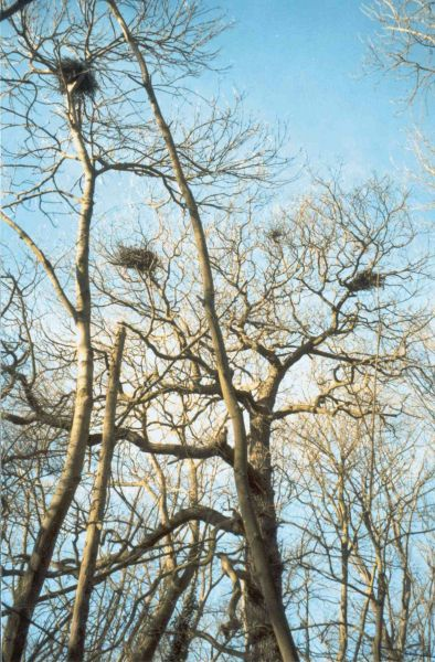 Grey Heron nests © Jan Pritchard
