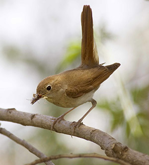 Nightingale. Photo by Edmund Fellowes