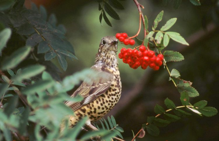 Mistle Thrush by Tommy Holden