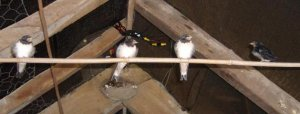 Fledged Swallows. Photograph by Pete Stacey. 2013.