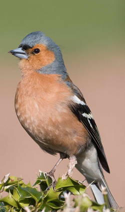 Chaffinch showing growths on left leg by John Harding