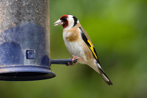 Goldfinch on a clean nyger feeder by John Harding