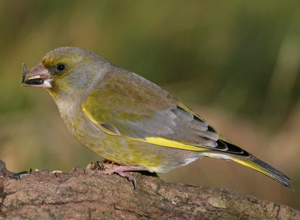 Greenfinch by Jill Pakenham