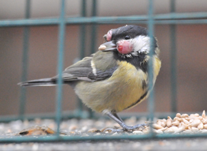 Great Tit by John Ambler
