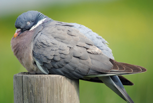 Woodpigeon showing signs of disease, including general lethargy - by Amy Lewis