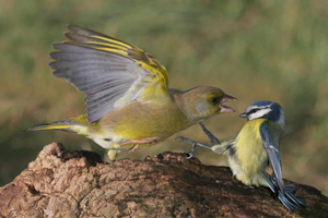Greenfinch and Blue Tit by Jill Pakenham