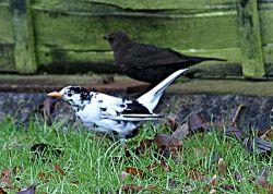 Leucistic Blackbird by Dennis Simpkin