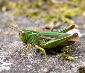 Common Green Grasshoppper by Mike Toms