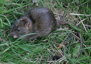 Common Rat. Photograph by John Harding