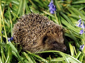 Hedgehog, by John Harding