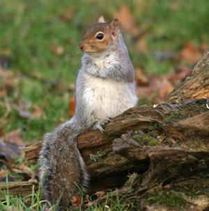 Grey Squirrel by John Harding