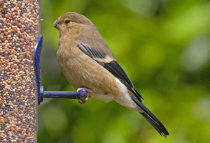 Juvenile Bullfinch by John Harding