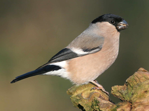 Female Bullfinch by Jill Pakenham