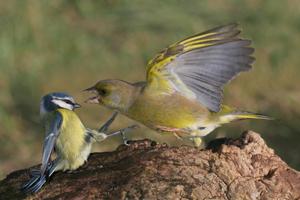 Greenfinch and Blue Tit by Jill Pakenham