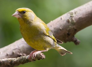 Greenfinch by John Harding