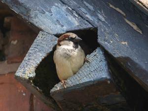 House Sparrow by John Harding