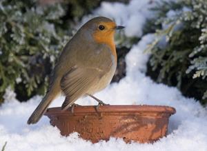 Robin by John Harding