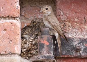Spotted Flycatcher by John Harding