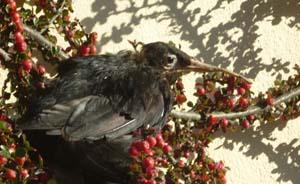 Blackbird by Lindsay Levine