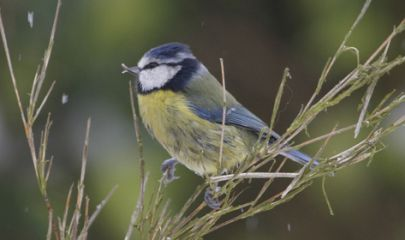 Blue Tit by Graham Lenton