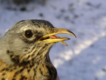Fieldfare by Denise Lamsdell