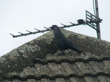 Jackdaw by Sheila Hill