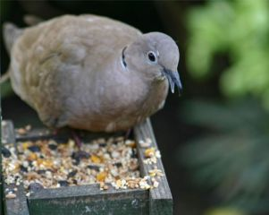 Collared Dove by Malcolm Holmes
