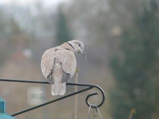 Collared Dove by John Sherratt
