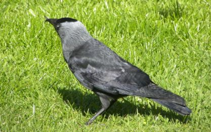 Jackdaw by Marshall Corlett