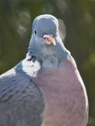Wood Pigeon by Jean Turner