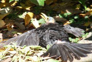 Blackbird (Brenda Hazel, Oxfordshire)