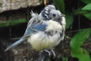Blue Tit (Mike Jones, Mid-Glamorgan)
