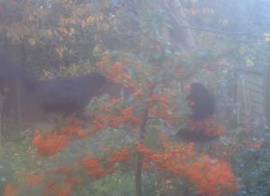 Pyracantha and Blackbirds