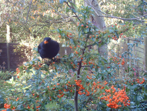 Pyracantha and Blackbird