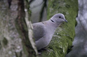 Collared Dove (John Harding)