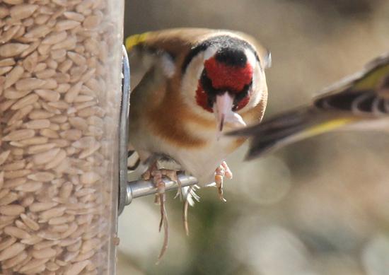 Goldfinch (Maria Cowans)