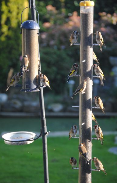 Goldfinches (Dave Pankhurst, East Sussex)