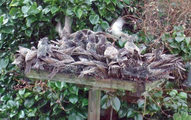 Starlings (Linda Maddock)