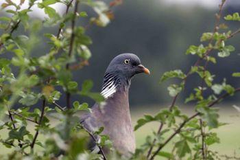 Woodpigeon (John Harding)