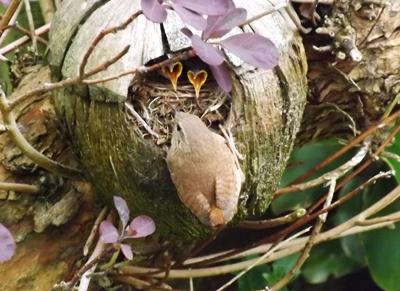 Wren nest (Howard Grant)
